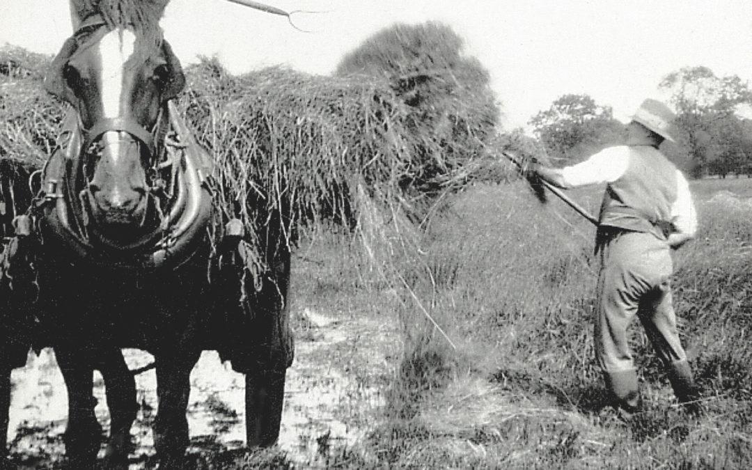 Farm Hands at Bridge Farm Escrick, 1931 –  Gathering straw