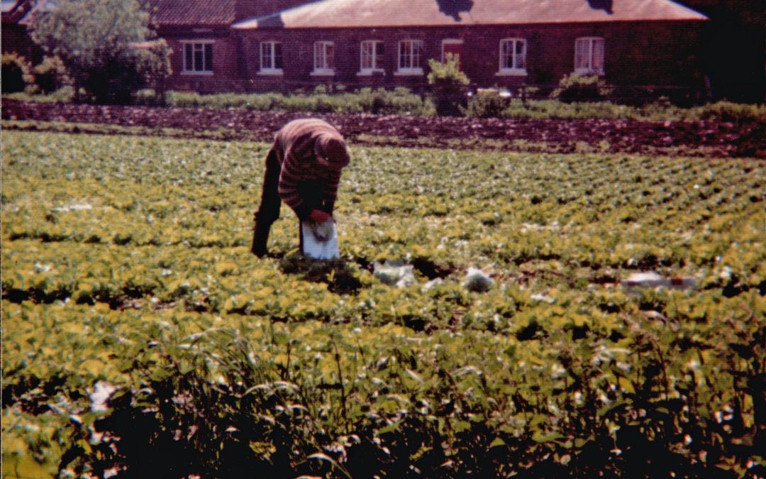 Gordon Sarginson working in the Market garden (c 1980)
