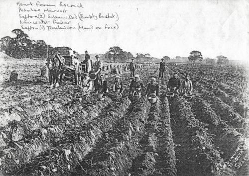 Potato picking at Mount Farm - Escrick